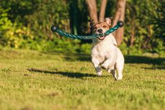 Running dog playing with fetch stick toy at backyard lawn. Jack Russell Terrier has fun at sunny hot summer day royalty free stock image