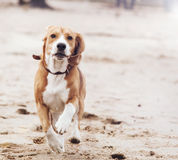Running dog portrait Stock Photography