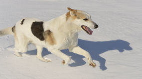 Running Dog Stock Photos