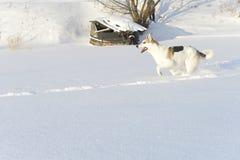 Running Dog Royalty Free Stock Photography