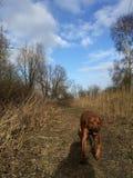 Running dog rhodesian ridgeback. Dog running towards you Stock Photography