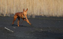 Running dog. Carries toy ball Royalty Free Stock Images