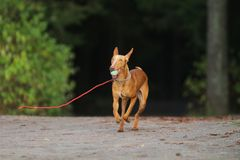 Running dog. Carries toy ball Stock Photography