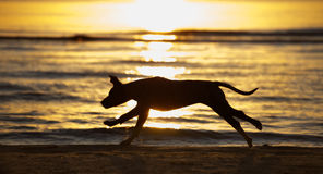 Running dog silhouette on the beach at sunset Royalty Free Stock Photography