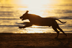 Running dog silhouette on the beach at sunset Royalty Free Stock Image
