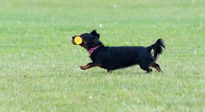 Running dog. Running small black dog with dumbbell Stock Photography