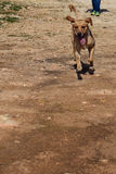 Running dog with a smile Royalty Free Stock Photos