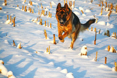 Running dog on snow Royalty Free Stock Photo