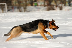 Running dog on the snow Royalty Free Stock Image