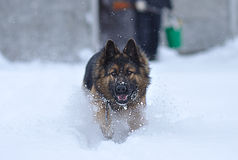 Running dog Stock Photography