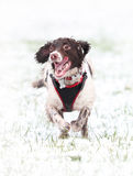 Running dog in snow. Energetic English Springer Spaniel dog running and enjoying the snow Stock Photo