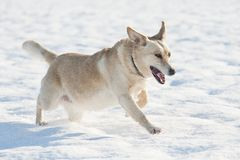 Running dog in the snow. Labrador the dog running in the snow Stock Photography