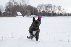 Running dog in a snowy field Royalty Free Stock Photos