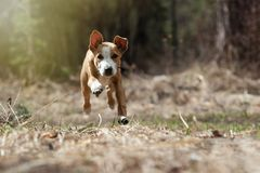 Running dog, Staffordshire Terrier. Running puppy of the Staffordshire Terrier. The dog runs into the frame stock photos