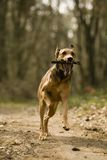 Running dog with stick. Dog running in forest. Selective focus on dog stock photography