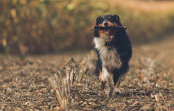 Running Dog with Stick Royalty Free Stock Photos
