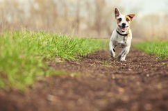Running dog at summer. Jumping fun and happy pet walking outdoors Royalty Free Stock Photos
