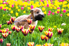 Running dog on  Tulips Royalty Free Stock Image