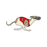 Running dog whippet breed, in dog racing dress Stock Photography