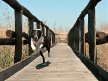 Running dog. On wood jetty Stock Photography