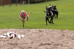 Running dogs Royalty Free Stock Photo