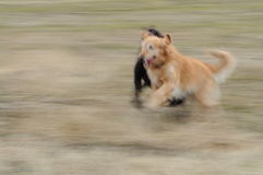 Running Dogs. Two dogs running in a grass field Royalty Free Stock Photos