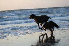 Running dogs. Two running dogs across the beach Stock Photography