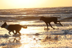 Running dogs. Two running dogs across the beach Stock Photos