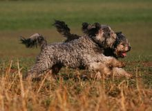 Running dogs. Two running dogs on the field stock photos