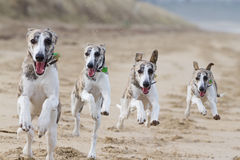 Running dogs. Whippet dogs running on beach - composite of the same dog Royalty Free Stock Photo