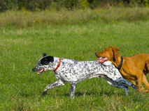 Running dogs. Two dogs running in grassy area stock image