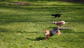 Running dogs. At full speed (blur motion). Mixed breed dog closest, whippet in middle, english springer spaniel furthest away stock photo