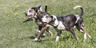 Running dogs Stock Photos