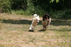 Running dogs. Two running dogs on the field royalty free stock photography