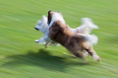 Running dogs. In motion blur to show the speed and action stock photo