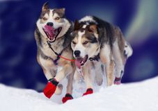 Running dogs. Dogs running in the winter Royalty Free Stock Images