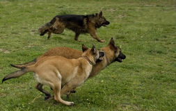 Running dogs. Three running dogs: two puppies belgian shepherds malinois and one german shepherd Royalty Free Stock Photo