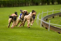 Running dogs Stock Images