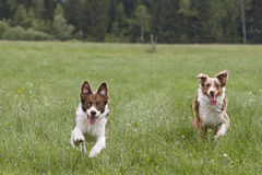 Running dogs. Australian Shepard dog and a young border collie running on a meadow vied royalty free stock images