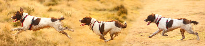 Running dogs banner. Three running dogs side profile banner Royalty Free Stock Photos
