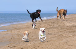 Running dogs. Running chihuahua, rottweiler and malinois on the beach Royalty Free Stock Photography