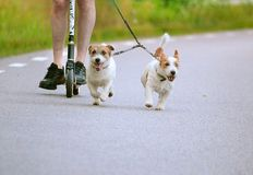 Running dogs. Dogs out running beside the scooter stock photo