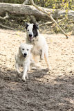 Running dogs. Dogs running on the sand, flying drops in all pages, background is out of focus Royalty Free Stock Photography