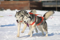Running dogs. Sled dogs running in the snow royalty free stock images