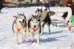 Running dogs Stock Photo