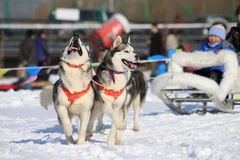Running dogs. Sled dogs running in the snow royalty free stock image