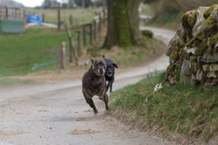Running Dogs. A Staffordshire Bull Terrier and a Black Labrador Running on a Country Road royalty free stock photos