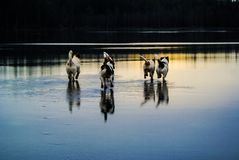 Running dogs. Water and ice royalty free stock image