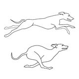 Running dogs whippet breed, two poses Royalty Free Stock Photo