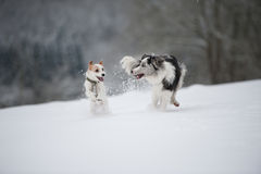 Running dogs. In a winter landscape royalty free stock photos